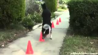 getlinkyoutube.com-Der schlauste Hund der Welt
