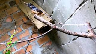 getlinkyoutube.com-Burung murai batu kawin