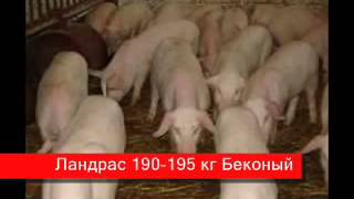 Содержание свиней в домашних условиях