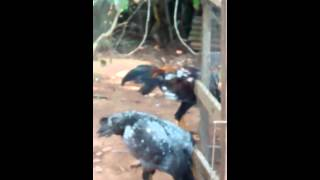 getlinkyoutube.com-Galo de combate( frangos invocandos)