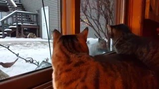 getlinkyoutube.com-Cat Teased By Squirrel One Too Many Times