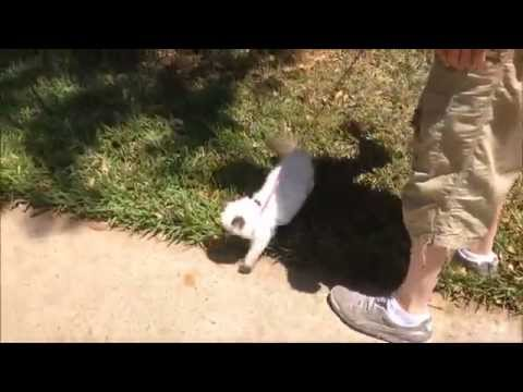 Walking my cat (Kyoki) on a leash