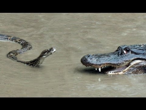 Python vs Alligator  01 -- Real Fight -- Python attacks Alli