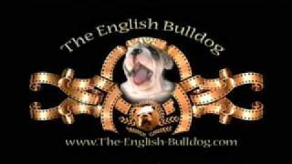 getlinkyoutube.com-English Bulldog puppy as the MGM Lion