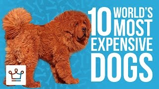 getlinkyoutube.com-Top 10 Most Expensive Dogs In The World
