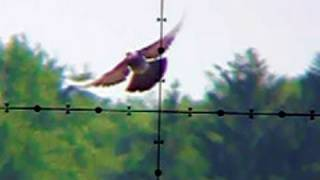 getlinkyoutube.com-Pigeon Shooting 130 Yards (118m) Edgun Matador PCP Air Rifle