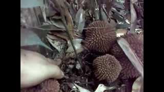 getlinkyoutube.com-Durian paling aneh