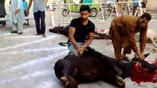 getlinkyoutube.com-qurbani cow 2012 lahore.whn