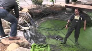 getlinkyoutube.com-Commercial Built Aquaponic Home System Harvests 180kgs+ Rainbow Trout