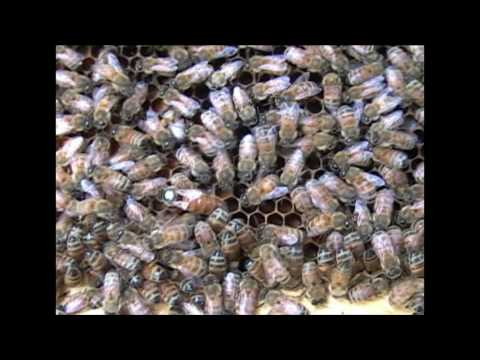Varroa Mite History, Distribution, and Biology