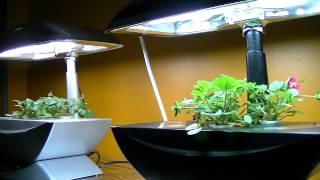 getlinkyoutube.com-Time Lapse Dancing Strawberries - Aero Garden 90 hours