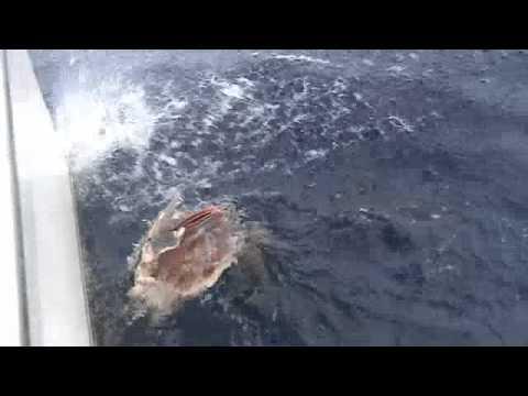 Marlin eaten by Tiger Sharks