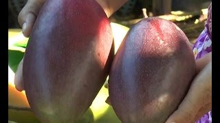 getlinkyoutube.com-สายลับบ้านทุ่ง : สวนมะม่วงน้ำดอกไม้สีม่วง จ.นนทบุรี 31 พ.ค.58 (1/4)