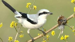 getlinkyoutube.com-Tiny vicious killer of the bird world - Shrike impales its victims on a spike