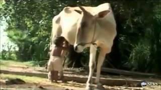getlinkyoutube.com-موقع غـريبة   الموقع الأول فى الشرق الأوسط لأخبار الغرائب والعجائب والتسلية شاهد  طفل كمبودى يرضع من  ثدي البقرة  بدلاً من أمه