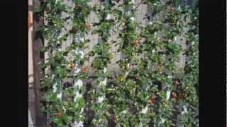 getlinkyoutube.com-Morangos em garrafas Pets Semihidropônicos do plantio até a colheita