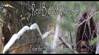 getlinkyoutube.com-Sylvanic Bigfoot Documentary.  The first 10 minutes with new Sasquatch stills