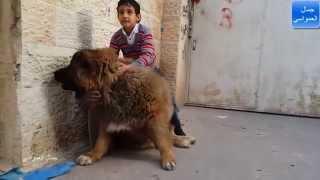 getlinkyoutube.com-الكلب القوقازي سيمبا تم ترويضه جيدا وسيحتاج الى عدة اشهر مع جمال العمواسي