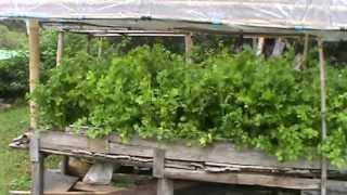 getlinkyoutube.com-การปลูกผักคื่นฉ่าย หรือ ผักคื่นช่าย