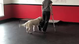 Maggie working for her owner on crutches