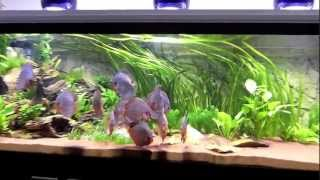 getlinkyoutube.com-Einrichtung eines Diskusaquariums mit Stendker Diskus setting up a discus tank with Stendker discus