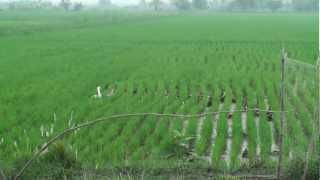 Azolla Duck Rice Farming@ แม่สาย เชียงราย3