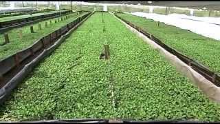 getlinkyoutube.com-Cultivo de Crisantemos Para San Valentín- TvAgro por Juan Gonzalo Angel