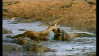 getlinkyoutube.com-Lion Crocodile attack