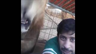 getlinkyoutube.com-Dubai Prince playing with his pet lions. Friends vitaly get chased and ass bitten by his lions!!