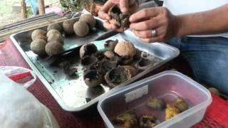 getlinkyoutube.com-ขี้เป้า อาหาร ป่า แบบบ้านๆ ถิ่นอิสาน
