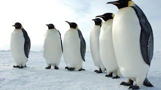 getlinkyoutube.com-Penguins of the Antarctic - Nature Documentary