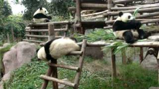 getlinkyoutube.com-Drunk Pandas do the funniest things Chengdu