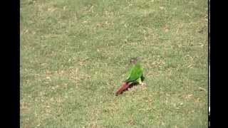 getlinkyoutube.com-Oscar Wild Green Cheek Conure Free Flight At Georgia Tech