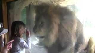 かわいい少女に、ライオンがブチギレw