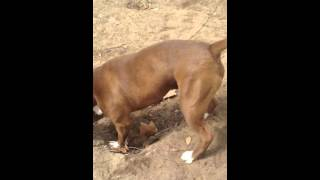 getlinkyoutube.com-كلب بيتبول مصري