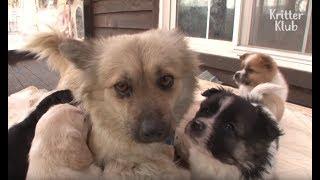 7 Puppies Keep Stealing Breast Milk From Their Next-Door Neighbor | Kritter Klub