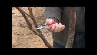Harold Adem Training Walnut Trees