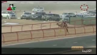 انجازات الهجن القطرية في الكويت 2017