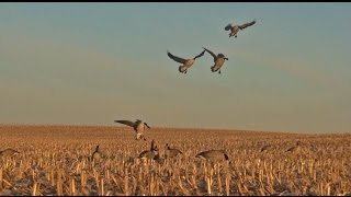 getlinkyoutube.com-Goose Hunting Minnesota - October Corn Field Hunt
