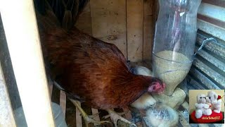 DIY# 34 Automatic Chicken & Bird Feeder from Waste Plastic Bottle