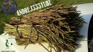 getlinkyoutube.com-Asparagi selvatici - Coltivazione naturale (spontanea)