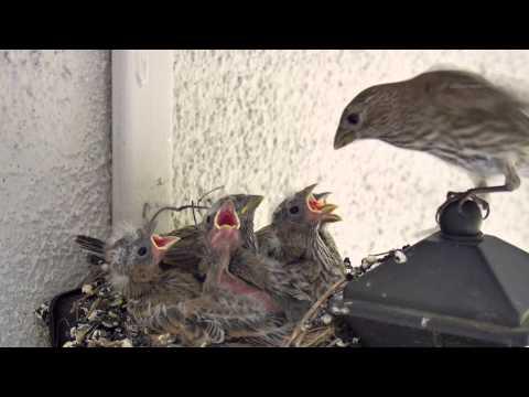 Backyard Bird Watching: House Finch Nest 5 Weeks Complete Documentary