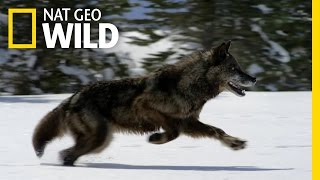 Hunting With the Dark Wolf | Wild Yellowstone