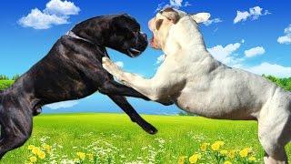 getlinkyoutube.com-Boxer vs American Bulldog   Highlights