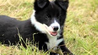 getlinkyoutube.com-Top 20 des chiens les plus beaux du monde !