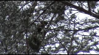 getlinkyoutube.com-Охота на лесную куницу с лайками