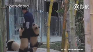 Facing clingy panda cubs, the keeper had his boots and socks pulled off and almost his pants as well