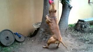 getlinkyoutube.com-اقوى كلب في العالم