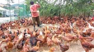 getlinkyoutube.com-Ayam Kampung - Nuralis Agro Sdn. Bhd. (Sihat dan Berkhasiat)