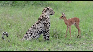 getlinkyoutube.com-Incredible footage of leopard behaviour during impala kill - www.natural-variation.com